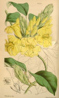 Curtis's botanical magazine.. London ;New York [etc.] :Academic Press [etc.]. biodiversitylibrary.org/page/434567
