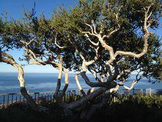 Love these trees!  Laguna Niguel, CA