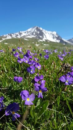 Viole a giugno - Mont Cenis