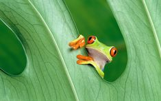 green tree frog - Google Search