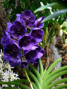 Orchid, Vanda hybrid, V. Kasem's Delight, 'Robert'   Good heavens!!  Extravagant beauty!