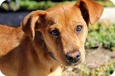 Lovables: San Diego, CA - Dachshund/Beagle Mix. Meet Raiche a Puppy for Adoption.
