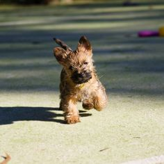 Cairn Terrier puppy! - hint hint… so excited only 1 more week !!!!