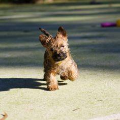 Cairn Terriers  Origin- UK KC- Terrier AKC- Terrier