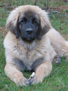 Leonberger puppy -- I want one!!!