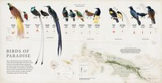 El infografista Fernando Gómez Baptista. Birds of paradise. National Geographic