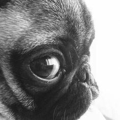 Puggy eyes