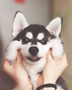 A Load of Cute and Fluffy Siberian Husky Puppies by Erica Tcogoeva l Siberian Husky Puppies, Husky Puppy, Animals And Pets, Funny Animals, Cute Animals, Baby Animals, Animals Tumblr, Most Popular Dog Names, Cute Puppies