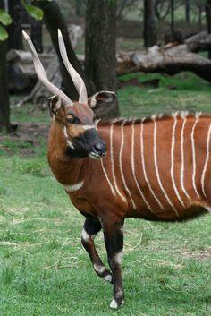 Bongo, taronga's western plains zoo, dubbo let's go wild ani Rare Animals, Animals And Pets, Funny Animals, Beautiful Creatures, Animals Beautiful, Reptiles, Mammals, Africa Painting, Africa Art