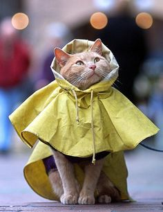cat in raincoat--Wembley would have a fit!