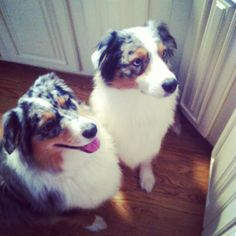 Our female and male Blue Merle Australian Shepherds