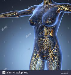 Human limphatic system with bones in transparent body Stock Photo