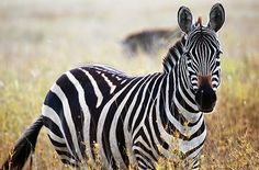 Image result for zebre