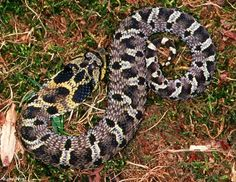 Eastern Hognose....the Oscar worthy actors of the snakey world are the hognose.