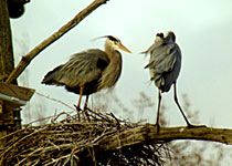 Great Blue Heron Nest.  You're watching a beta preview  Status update: The herons have returned! You will see courtship displays and nest-building activities. The female laid her first egg on March 28, and her second on March 30. Watch for the next egg, usually laid two to three days later.
