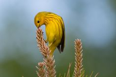 Yellow Warbler by Jesse_in_CT