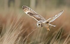 owl wallpaper 11943