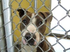 PLEDGES AND RESCUE NEEDED! DAISY MAE HAS BEEN THERE ALMOST A MONTH!!! SHE'S REALLY SWEET! WATCH HER VIDEO: https://www.youtube.com/watch?v=nAELlLx31Dw&hc_location=ufi A4809131 My name is Daisy Mae and I'm an approximately 1 year old female pit bull. I am not yet spayed. I have been at the Downey Animal Care Center https://www.facebook.com/photo.php?fbid=851570424923291&set=pb.100002110236304.-2207520000.1429042109.&type=3&theater
