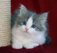 Siberian kitties are hypoallergenic for most people.