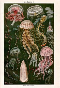 56 Ideas For Natural History Illustration Fish Jellyfish Quotes, Jellyfish Tank, Jellyfish Aquarium, Jellyfish Facts, Jellyfish Light, Jellyfish Drawing, Jellyfish Painting, Jellyfish Tattoo, Watercolor Jellyfish