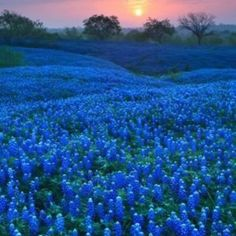 Texas Blue Bonnets from the FB Group You Know You're a Texan When