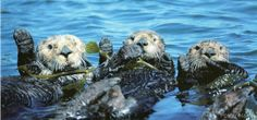 3 x Hello - Sea Otters in Kelp, Monterey Bay, California. Photograph by Frans Lanting