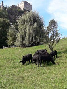 Biobauernhof Posch: Bio-Weidehühner und Bio-Angus Fleisch Angus Rind, Bad Vöslau, Animals, Free Range, Cattle, Animais, Animales, Animaux, Animal