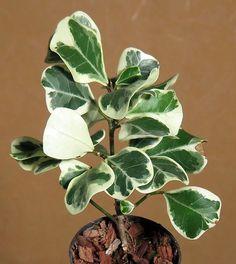 Ficus Triangularis White var.