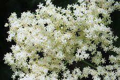 What is Elderflower? Benefits of Elderflower & Recipes! What Is Elderflower, Elderflower Cordial, Herbal Tinctures, Herbalism, Herbal Remedies, Natural Remedies, Elderberry Plant, Cheap Vodka, Herbs For Health