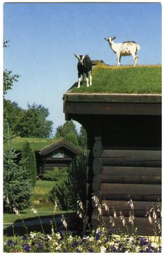Al Johnson's Swedish Restaurant and Butik, Sister Bay, Door County, WI  Yes, those are goats on the roof!