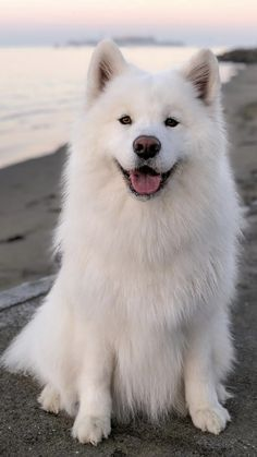 Such a huggably adorable dog. - Animals and pets - Puppies Cute Baby Animals, Animals And Pets, Funny Animals, Samoyed Dogs, Labradoodle Puppies, Pomeranian Puppy, Fluffy Dogs, Cute Dogs And Puppies, Doggies