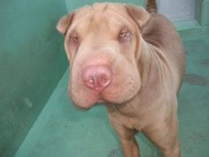 Blaze is an adoptable Shar Pei Dog in Lake Forest, CA. Blaze is a 10-month-old male Shar Pei. He was found stray and rescued from a local shelter. He will be neutered, microchipped and up to date on...
