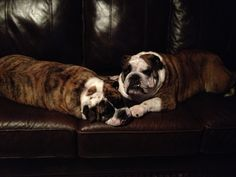 Couch Bulltatoes