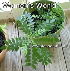 Curry Leaf Plants from Root Suckers/Seedlings