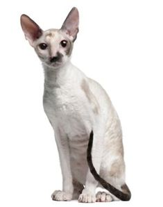 Information about Cornish Rex, Cat breeds Exotic Pets, Exotic Animals, Funny Weird Facts, Information About Cats, Cornish Rex, Devon Rex, Pets For Sale, Sphynx, Dog Portraits