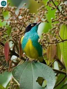 https://www.facebook.com/pages/THI%C3%8AN-NHI%C3%8AN-K%E1%BB%B2-TH%C3%9A/171150349611448?ref=hl Chim Dacnis bụng vàng lưu vực sông Amazon Nam Mỹ | Yellow-tufted dacnis (Dacnis egregia)(Thraupidae)(Dacnis) IUCN Red List of Threatened Species 3.1 : Least Concern (LC) | (Loài ít quan tâm)