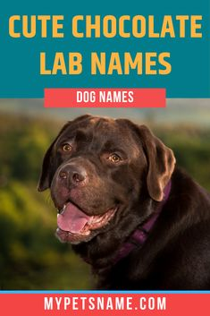 """Chocolate labs are the cutest canines out there and deserve an equally as cute name. This list of cute Chocolate Lab names are sure to have people """"awwwing"""" when you call your pooch's name in the park. Take a look!  #cutechocolatelabnames #chocolatelabnames #cutenamesforachocolatelab Cute Pet Names, Dog Names, Chocolate Labs, Labrador Retriever, Park, Dogs, People, Labrador Retrievers, Chocolate Labradors"""