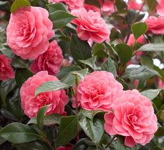 The camellia is the most popular and highly respected flower in Southwest China. It was honored as the national flower for the ancient southern kingdom, Dai Li. In a land marked by steep hills and roaring rapids, the camellia transforms the hills and valleys into oceans of red and white in early spring.