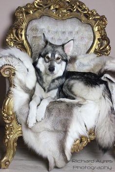 Ziva on her throne. by Richard Ayres. #wolfdog #northerninuit #wolfalike