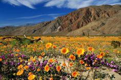 arizona wildflower landscape | Anza-Borrego-Desert-Wildflower-Season.jpg
