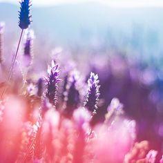 #nature #lavanda #flower #colors #landscape #bokeh #canon #contrast #icu_chile #loves_chile #lovesteam_americas #chile #sunset  Ojalá resulte todo  día bacan  by csshoots