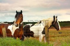 Beautiful horses in scottish fields close up Stock Photo