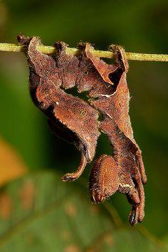 Lobster Moth Caterpillar (Stauropus sp., Notodontidae)