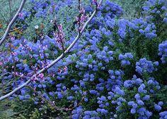 cercis occidentalis western redbud   Cercis occidentalis - Western Redbud and Ceanothus 'Joyce Coulter ...