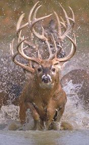 This is called the buck Train | white-tailed bucks running through water.