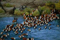 Rebaño de vacas cruzando el Río Chimehuín. Prov. de Neuquén. Argentina.