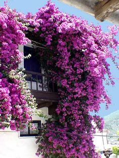 Bougainvillea could be a great full-sun flower to create some privacy on my balcony overlooking a parking lot.