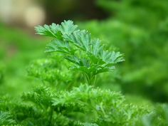 parsley - This Amazing Herb Kills 86% of Lung Cancer Cells