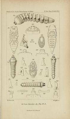 Histoire des insectes du pin maritime..  Paris,M. Buquet,1863.  Biodiversitylibrary. Biodivlibrary. BHL. Biodiversity Heritage Library.