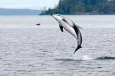 Pacific white-sided dolphin off Vancouver Island.